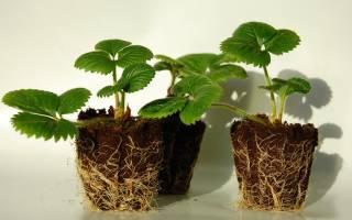 Белая земляника выращивание из семян и уход