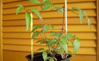 Как вырастить клематис из семян в домашних