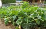 Как выращивать правильно тыкву