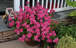 Как вырастить в горшке хризантему