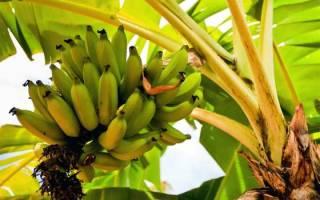 Как вырастить банан из семян в домашних условиях