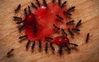 Как избавиться навсегда от муравьев