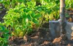 Как подготовить грядки для клубники осенью