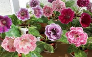 Как вырастить из семян глоксинию