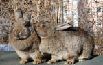 Как определить охоту у крольчихи