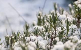 Как закрывать лаванду на зиму