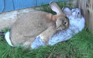 В каком возрасте можно сводить кроликов