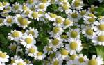 Как называется цветок как ромашка