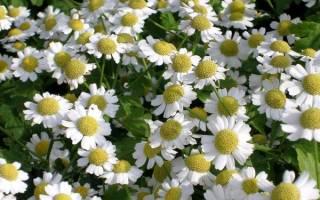 Как называются цветы как ромашки