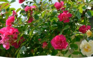 Как защитить на зиму розы