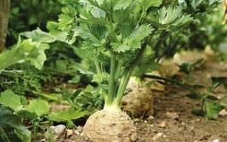 Как вырастить сельдерей черешковый на даче