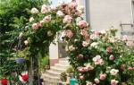 Как понять что роза одичала
