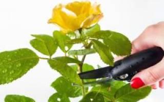 Как обрезать розу комнатную на зиму