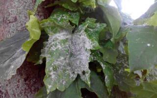 Белые пятна на листьях клена что это