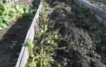 Как избавиться от фитофтороза в почве