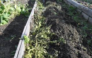 Как обеззаразить землю от фитофторы после картофеля