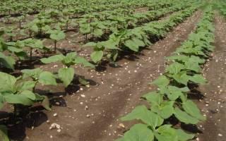 Как вырастить подсолнух из семечки на даче