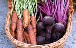 В какое время нужно убирать свеклу и морковь