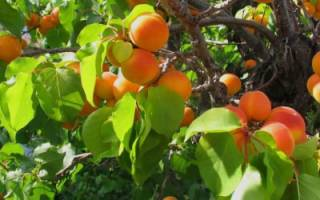 Как привить абрикос на абрикос осенью