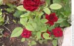 Как выкопать розу на зиму