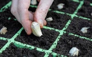 Выращивание чеснока как бизнес рентабельность технология