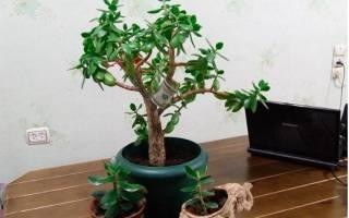 Как правильно сажать толстянку денежное дерево