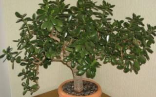 Как вырастить денежное дерево из листочка