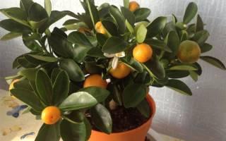 Как выращивать мандарины в домашних условиях из косточки