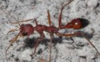 Как вывести рыжих муравьев в квартире отчего они появляются где живут