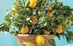 Как вырастить лимон из косточки в домашних условиях в горшке