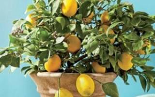 Как выращивать лимон в домашних условиях из косточки