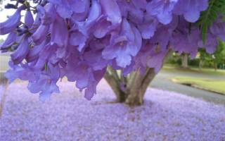 Дерево с фиолетовыми цветами как называется