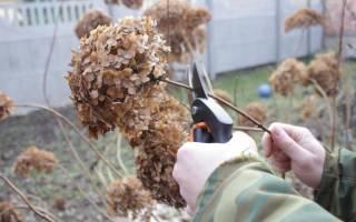 Как обрезать гортензию садовую
