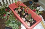 Как вырастить розу из черенка в домашних условиях зимой