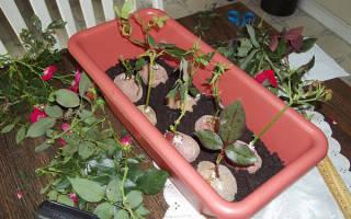 Как из черенков вырастить розы в домашних условиях