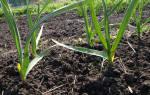 Как вырастить лук чеснок