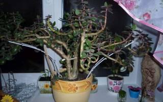 Денежное дерево как сделать деревом
