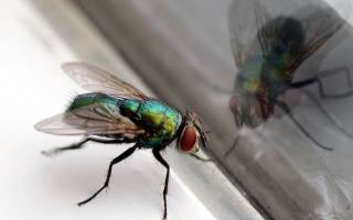 В доме много мух без видимых на то причин