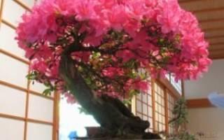 Как вырастить бонсай из семян японская сакура