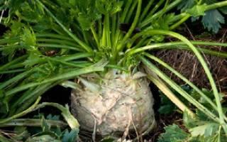 Как правильно выращивать сельдерей корневой