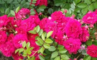 Как подготовить вьющиеся розы к зиме