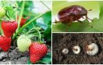 Как клубнику уберечь от личинок майского жука