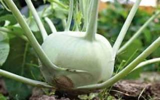 Как выглядит кольраби капуста
