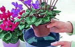 Как поливать цикламен во время цветения в домашних условиях