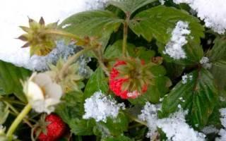 Как подготовить клубнику к зиме в средней полосе