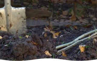 Как прикопать на зиму ежевику