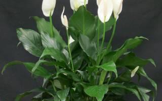 Женское счастье цветок как ухаживать в домашних условиях