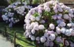 Гортензия цветет на какой год