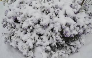 Как закрыть клематис на зиму