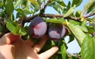 Как определить спелость сливы на дереве